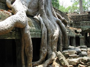 Overgrown trees in Ta Prohm