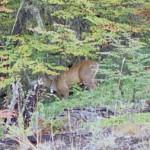 Huemul deer